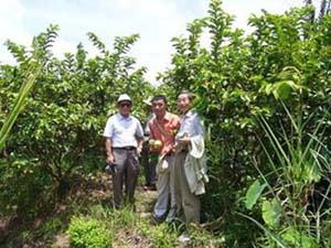 Figure 4 The Survey Team Visited the Guava-Intercropped King Mandarin Orchard of Sofri, Southern Vietnam.