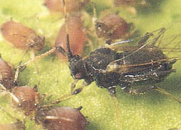 Figure 3 Citrus Brown Aphid (Toxoptera Citricida Kircaldy) the Primary Vector for Citrus Tristeza Virus