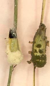 Figure 1 Biological Pest Control: Green Rice Leafhoppers Infected by Fungal Pathogens (Beauveria Bassiana (Right), Metarhizium Anisopliae (Left))