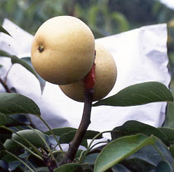 Figure 5 Ripe Fruit of Grafted Upland Pear, Grown on Lowland Pear Tree. Upland Pears Have a Better Flavor Than Lowland Ones, and Sell at a Higher Price.