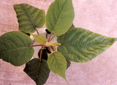 Figure 1 Young Plant of Kiwi Fruit with Magnesium Deficiency