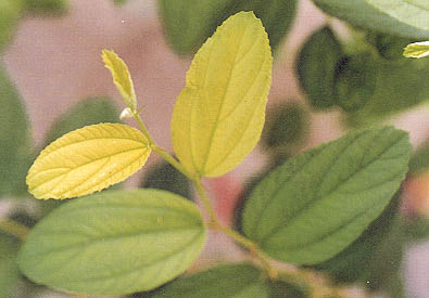 Figure 2 Jujube with Iron Deficiency