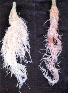 Figure 3 Papaya Roots with Symptoms of Phosphorus Deficiency (Normal Whitish Roots on Left)