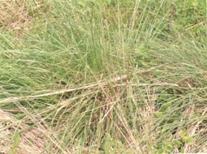 Figure 1 Vetiver Grass <I>(Vetiveria Zizanoides)</I>